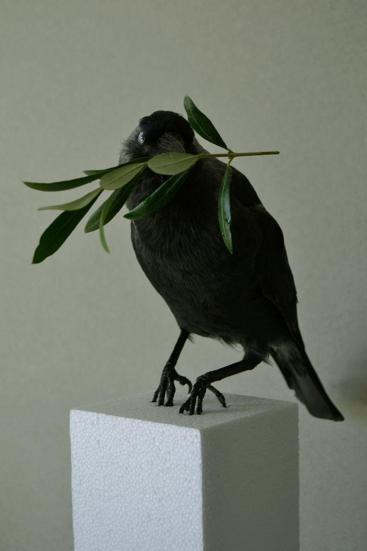 Peace assemblage ,taxidermy bird and olive branch, 2014.